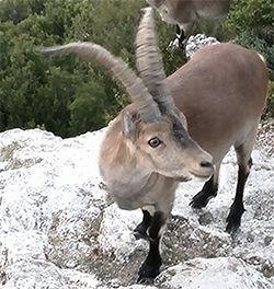 cabra-salvatge